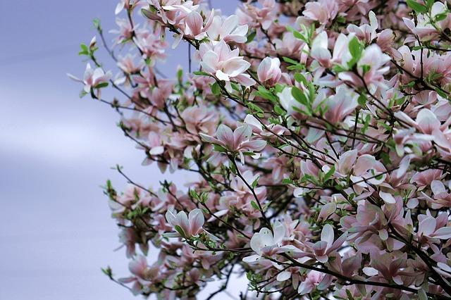 rozkvetlá magnolie