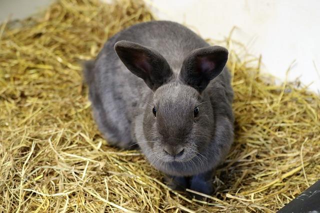 šedivý zakrslý králík